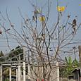 黄色い花の木
