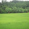 田圃とバナナの木