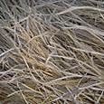 脱穀済みの稲