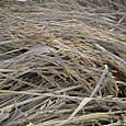 脱穀前の稲